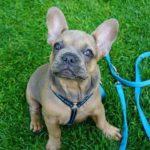 French Puppy
